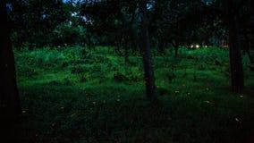Glimworm die in het bos bij nacht in Prachinburi Thailand vliegen Lange blootstellingstechniek Stock Foto's