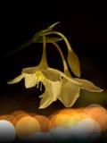 Glimwormen en bloem bij nacht Royalty-vrije Stock Foto