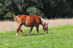Glinnik Polska, Lipiec, - 3 2018: Czerwony pracujący dorosły ciągnięcie koń pasa na przesłodzonej zielonej trawie Zwierzęcy husba obraz royalty free