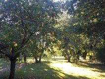 Glinsterende bomen in de boomgaard van Hertfordshire, het UK stock afbeeldingen