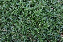 Glinus, Glinus is een soort van tropische en subtropische installaties in de familie Molluginaceae Beeldachtergrond stock afbeelding