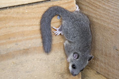 Glis glis. Young glis glis climbing  on a wooden wall Stock Photography