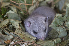Glis glis Royalty Free Stock Photo