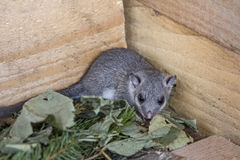 Glis glis. Young glis glis in his nest Stock Images