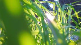 Glissement dans l'herbe devant le soleil banque de vidéos