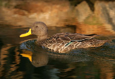 Glissement de canard Image libre de droits