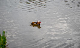 Glissement masculin de canard de mandarine Photographie stock