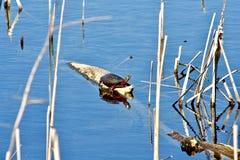 Glisseur à oreilles rouge exposant au soleil sur l'eau d'identifiez-vous Image stock