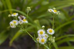 Glissière alpine, abeille sur une fleur Image stock