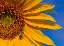 Glisten das asas da abelha Fotos de Stock Royalty Free