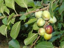 Glistening berries in Hertfordshire Parkland royalty free stock photos