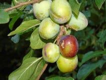 Glistening berries in Hertfordshire Parkland stock photography