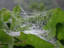Glistening Cobweb Cocoon. Cocoon of gossamer thread enveloping a leaf in a web stock photos