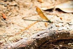 Glistening Demoiselle. Phaon iridipennis, commonly known as the Glistening Demoiselle royalty free stock photography