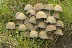 Glistening Ink Cap Fungi Stock Photo