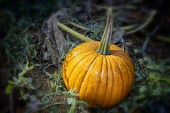 Glistening Pumpkin Royalty Free Stock Photo