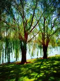 Glistening Trees. Willow Trees Glistening Royalty Free Stock Photos