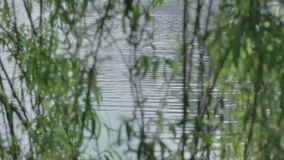 Glistening Water Behind Green Willow Tree Branch Leaves. Medium long high dynamic range shallow depth of field tracking slider shot of the sparkling reflection stock video