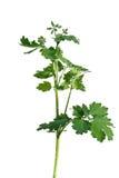Glistnik roślina Zdjęcie Royalty Free