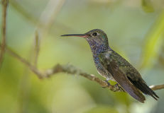 Glittering-bellied Emerald (Chlorostilbon aureoventris) Royalty Free Stock Images