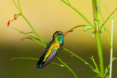 Glittering-bellied Emerald perched. Brazil Stock Photography