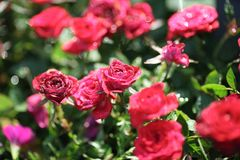 A glittering rose. The red rose flowers blooming in the spring botanical garden, glittering and translucent under the sunligh Royalty Free Stock Image
