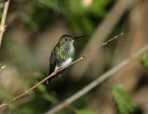 Glittering-throated emerald,  Amazilia fimbriata Stock Photography