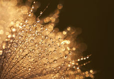 Glittering water drops. In a beautiful dandelion royalty free stock photos