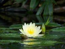 Glitzernde Wasser-Lilie Stockbilder