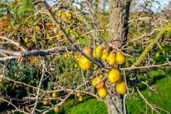 Glömda päron på ett gammalt päronträd Arkivfoto