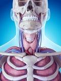 A glândula de tiroide Fotos de Stock Royalty Free