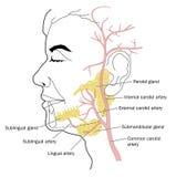 Glándulas salivales y fuente de sangre Imagenes de archivo