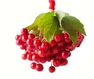 Glänzender roter Gueld- Rose Berries Lizenzfreie Stockfotos