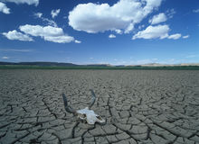 Global Drought. A skull laying on extremely dry land Stock Image