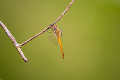 Global Skimmer perching on tree (Pantala flavescens) Stock Photos