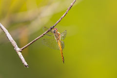 Global Skimmer perching on tree (Pantala flavescens) Royalty Free Stock Photography