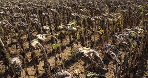 Global warming. Burned sunflowers,Loiret,  France