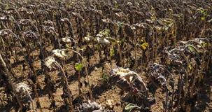 Global warming. Burned sunflowers,Loiret,  France