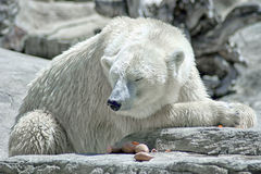 Global Warming Climate Change Crisis Polar Bear Stock Image