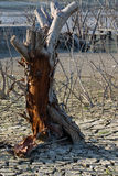 Global warming concept, dead tree Stock Photography