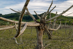 Global warming concept, dead tree Royalty Free Stock Photo
