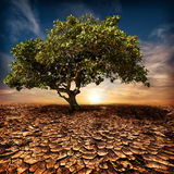 Global warming concept. Lonely green tree at desert. Global warming concept. Lonely green tree under dramatic evening sunset sky at drought cracked desert Stock Photography