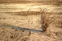 Global Warming. Crops drying on the ground barren Royalty Free Stock Photos
