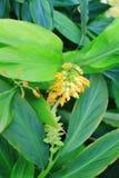 Globba flower Stock Photos