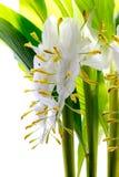 Globba winitii flower Royalty Free Stock Photo