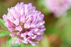 Globe Amaranth. This is a picture of the flower of Globe Amaranth Stock Photos