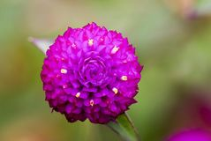 Globe Amaranth -  Bachelor Button Stock Photo