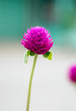 Globe Amaranth,Bachelor Button, close up purple violet flower Royalty Free Stock Photography