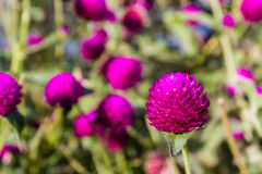 Globe amaranth Stock Photography