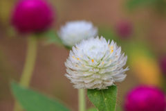 Globe Amaranth or Bachelor Button flower Royalty Free Stock Images